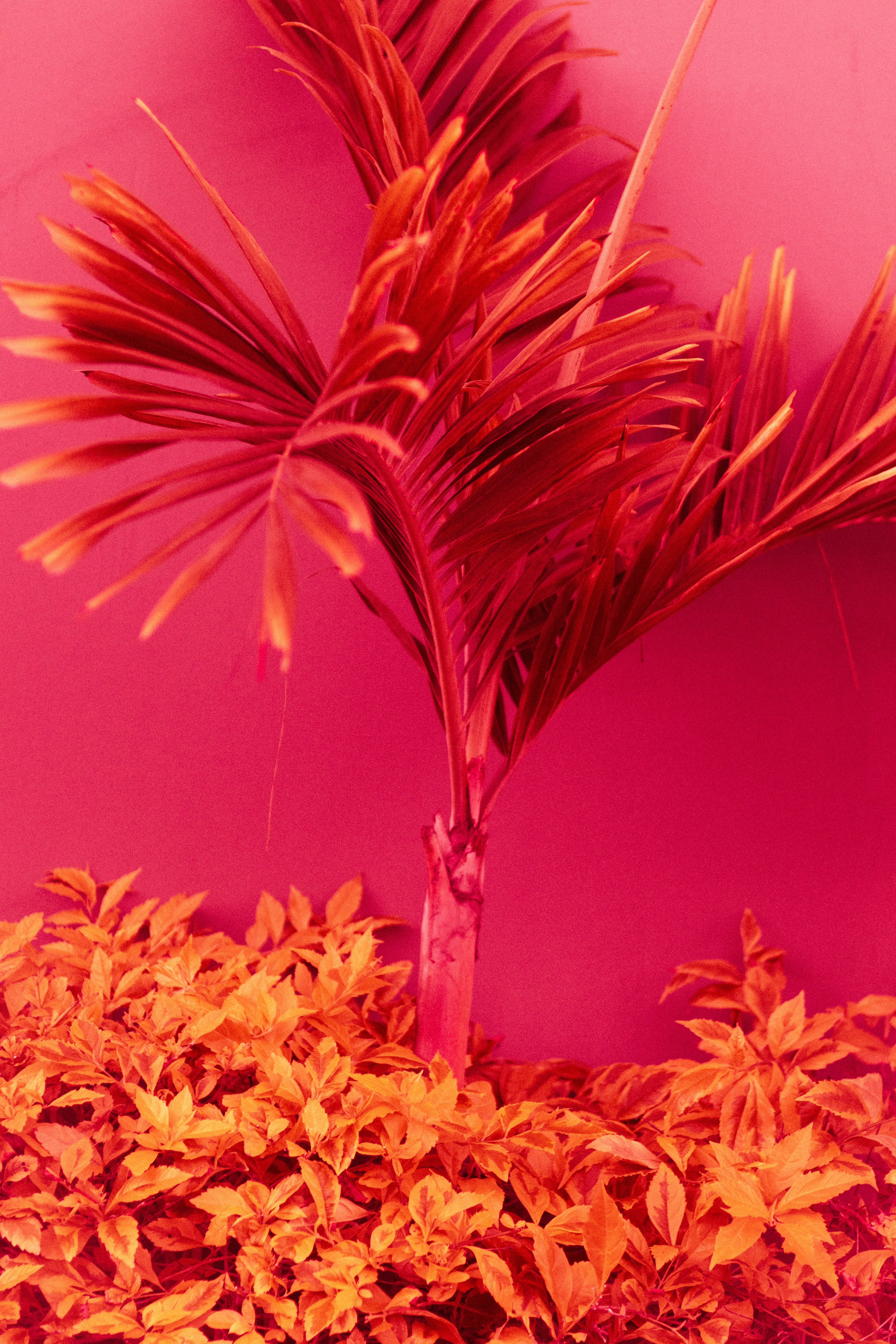A fern plant lit in yellow against a pink background